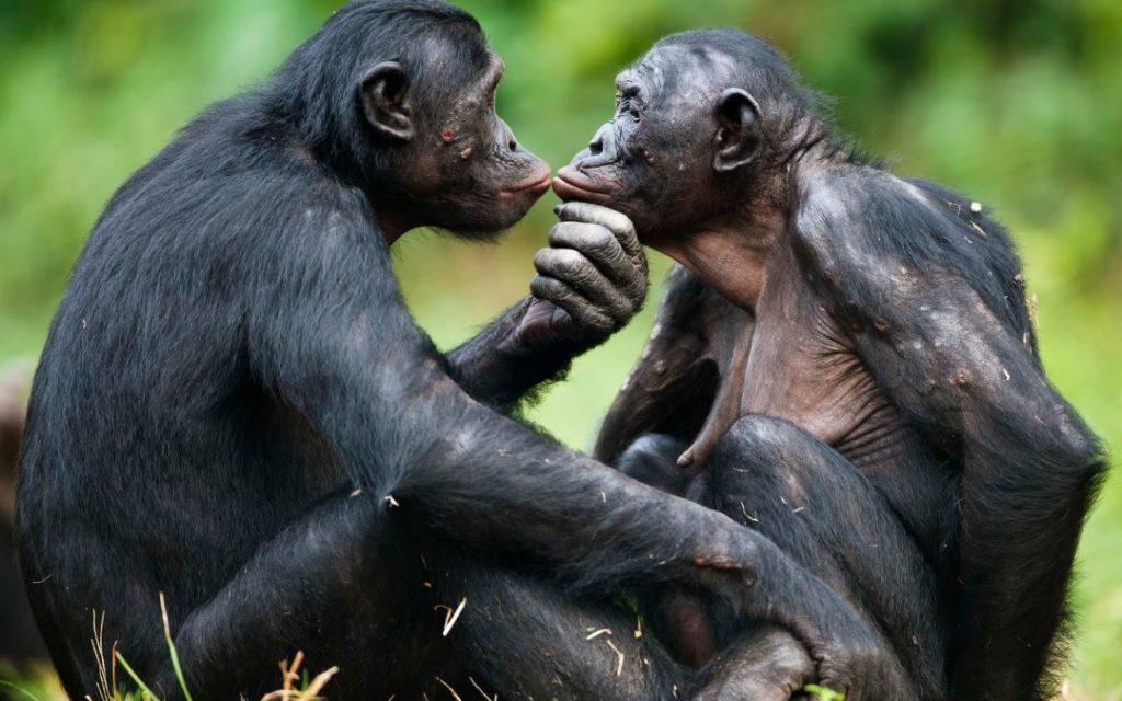 Bonobos -ConfidentLovers.com