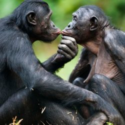Bonobos -ConfidentLovers.com